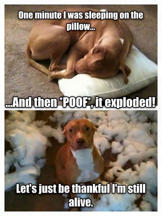 Pitbull and Exploding pillow