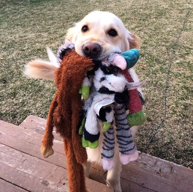 dog with a bunch of toys in his mouth